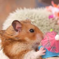It's Tuesday night, so here's a tiny hamster guzzling tiny tiki drinks