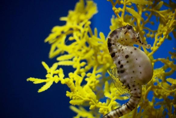 Potbellied seahorse - SEA LIFE