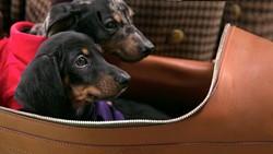 dachshund-babiesjpg