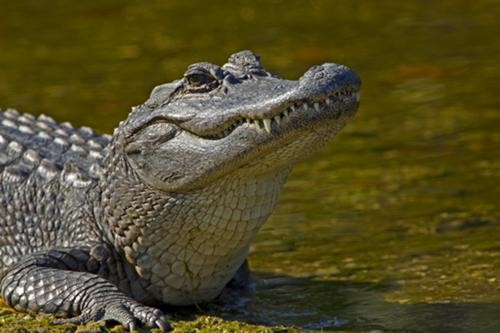 This American alligator had no comment on the Affordable Healthcare Act.