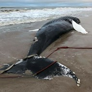 Florida officials are just going to leave this massive humpback whale carcass on the beach