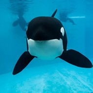 An orca is being treated for a dorsal fin injury SeaWorld Orlando