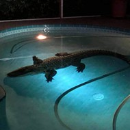 A Florida family had to close their pool last weekend because of an 11-foot gator
