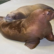 Guests at SeaWorld can now meet these two new mustachioed baby walruses