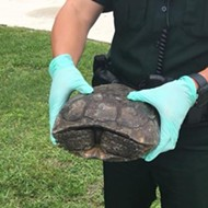 Florida man caught searching for threatened gopher tortoises to eat