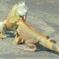 Two iguanas were 'fighting' in a Florida Starbucks parking lot