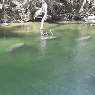 The manatee cam at Blue Spring State Park is going off right now