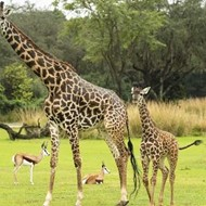 New baby giraffe makes debut at Disney's Animal Kingdom today