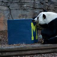 Big dumb panda picks Michigan over Florida in 2018 Chick-fil-A Peach Bowl