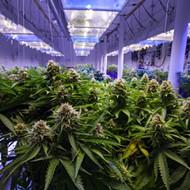 Number of Floridians using medical marijuana continues to grow, report says