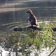 A raccoon posed on an alligator last weekend, resulting in Florida's greatest photo