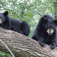 Increased bear activity in Ocala National Forest leads to temporary closures