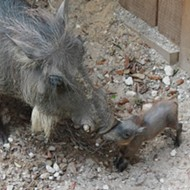 The Central Florida Zoo wants you to name this baby warthog