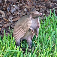 Floridians are getting leprosy from armadillos at a higher rate than normal