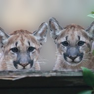 Florida's Fish and Wildlife Commission says it's time to give up on expanding Florida panther population