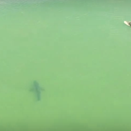 Incredible drone footage shows 10ft sharks swimming next to surfers