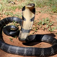 Don't panic, but there's a king cobra on the loose in Orlando