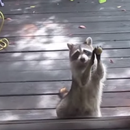 Hungry Florida raccoon learns to knock on doors till someone feeds it