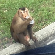 Sanford monkey eats mail, vandalizes car, runs from cops before jumping into owner's arms