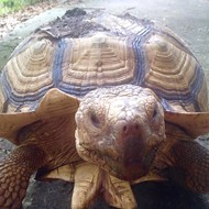 UPDATE: Tortoise found! Tortoise suspected stolen from Baldwin Park home