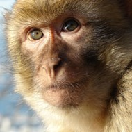 A feral Florida monkey was hit and killed by a car near Silver Springs; rest in peace, feral Florida monkey