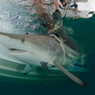 Thousands of sharks are currently swarming near Palm Beach