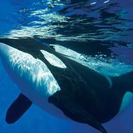 SeaWorld puts an end to orca breeding program
