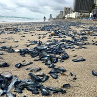 Thousands of jellyfish washed up on Hallandale Beach yesterday