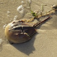 The FWC wants you to be aware that horseshoe crabs are having sex on the beach