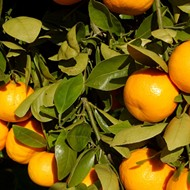 New study says 80 percent of Florida's citrus trees are infected with deadly greening disease