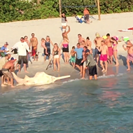 Watch these Florida fishermen catch and release a massive and rare sawfish