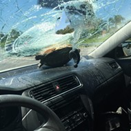 Turtle crashes through windshield on I-4 because of course it did