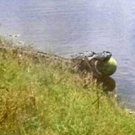 Florida alligator caught stealing watermelon from field in Hendry County