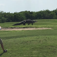 Yes, that massive Florida gator video is definitely real