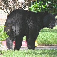 FWC staff recommend 'conservative' bear hunt among four options
