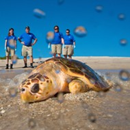 SeaWorld Orlando returned three rehabilitated sea turtles to the wild today