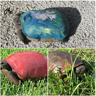 The FWC would like you to stop painting turtles