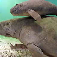 Six manatees displaced by Hurricane Hermine to be relocated