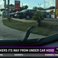 Watch this 6-foot snake casually slither out of Florida man's car