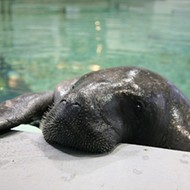 Florida's oldest manatee, Snooty, enters Guinness World Records after turning 68