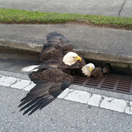 Metaphor alert: Two bald eagles got stuck in an Orlando storm drain last night