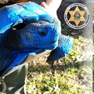 Someone painted a federally protected gopher tortoise, again