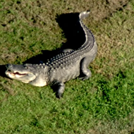 Freakishly huge gator reappears at Florida golf course