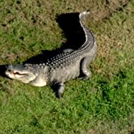 Freakishly huge gator reappears at Florida golf course