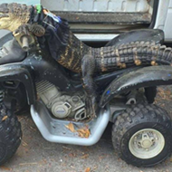 Florida woman gets to keep her ATV-riding pet gator 'Rambo'