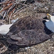 Two baby bald eagles in Florida are about to hatch on a live 'eagle cam'