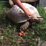 Have you seen these Florida tortoises?