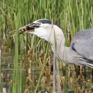 Watch this Florida heron eat a damn alligator