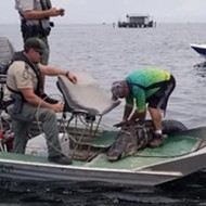 A 15-foot Florida alligator was captured after it reportedly chased swimmers
