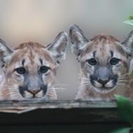 Florida road widening spells doom for endangered panther, says conservation group